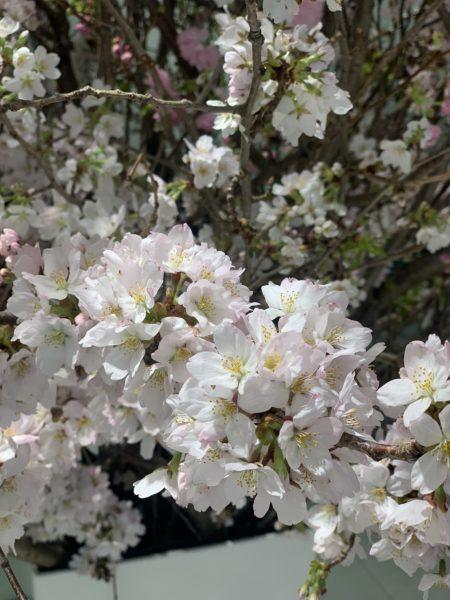 芝浦SR桜②